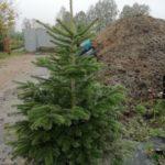 Choinka Bożonarodzeniowa jodła