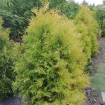 szkółka drzew i krzewów Ozimek
