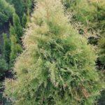 szkółka drzew i krzewów Opolskie