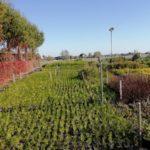szkółka drzew i krzewów thuje